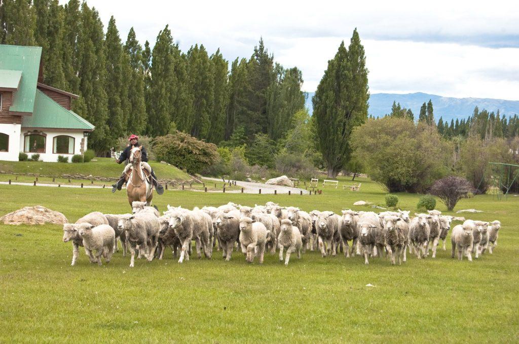 El_Calafate_sheep_herding