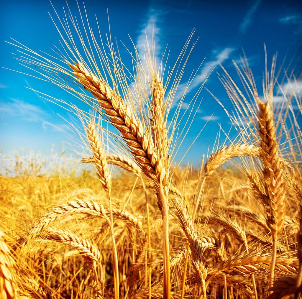 цены на зерно на элеваторах