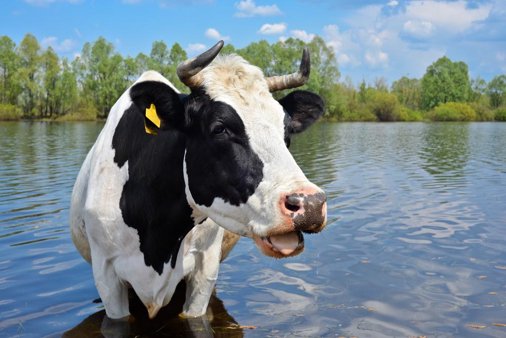стриженов картинки коров в воде сих