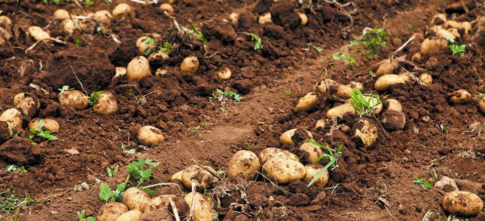 Чипсові сорти картоплі: технологія вирощування, ціна та експортний потенціал