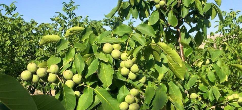 3 тонни горіха з 1 га без зайвих зусиль: Андрій Ярмак розповів про вражаюче відкриття горіхівників США